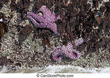 starfish clinging to rocks - pink starfish