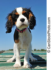 puppy cavalier king charles - young puppy cavalier king...