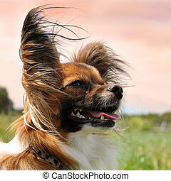 papillon dog - portrait of a purebred papillon dog in the...