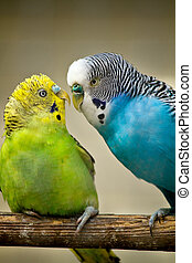 two budgerigar birds
