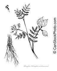 Astragalus (Astragalus membranaceus)
