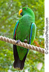 Colorful eclectus parrot on perch - Closeup of colorful wild...