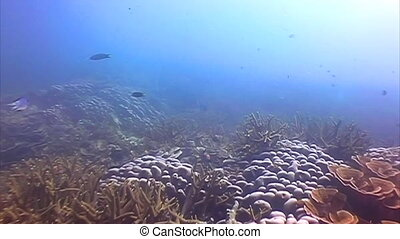 Hawksbill Sea turtle swimming among the corals