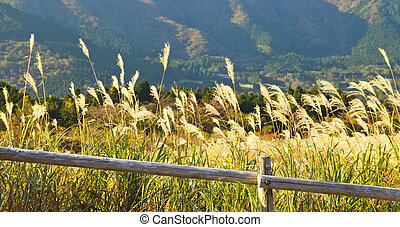 Pamapas Grass Field Hakone - Pampas grass meadow at Hakone,...
