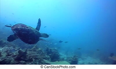 Hawksbill Sea turtle swimming away among the corals