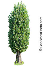 poplar tree. Isolated over white background .