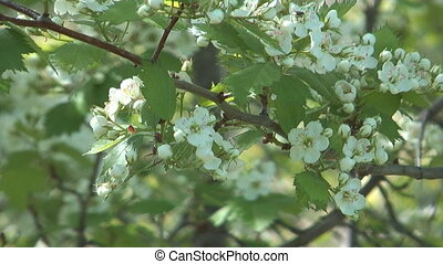 Blossoming hawthorn. - Close up shot of white flowers of...