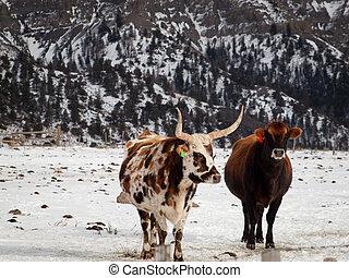 longhorn, Tejas