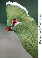 Knysna Loerie or Turaco Bird - Portrait of a beautiful...