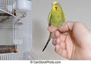 Budgie - A green budgie sitting on a finger outside the...