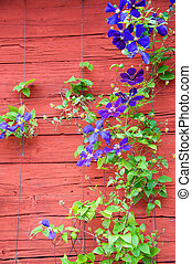 Clematis at a red swedsih wooden hosue