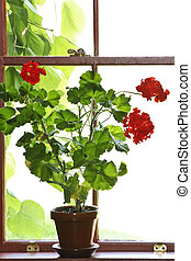 Potted red geranium sitting on a window ledge