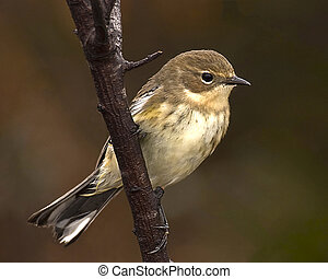 Song bird perched on a branch_Yellow-rumped Warbler -...