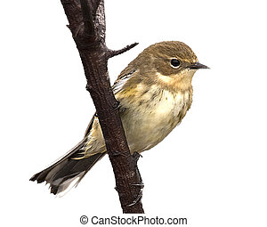 Yellow rumped warbler perched on a branch_Dendroica...