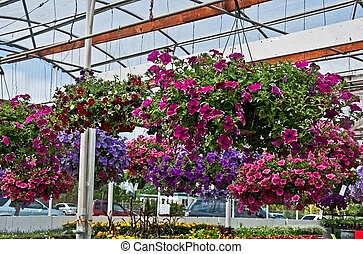 Haning Flower Baskets in Greenhouse - This greenhouse is...
