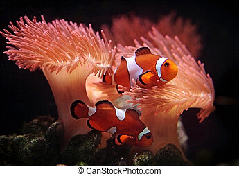 Clownfishes in a sea anemone