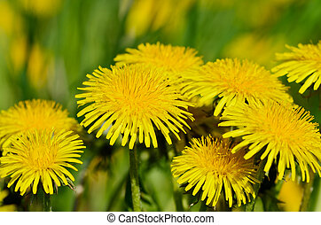Florescence - Closeup of yellow dandelions on the meadow