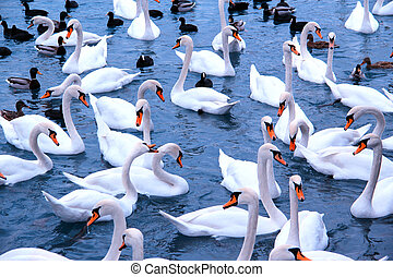 Grace of white - White swans, black gulls and ducks on the...