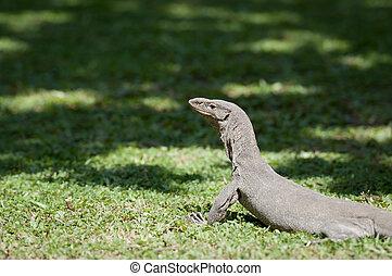 Wild varanus is looking for a prey. Focus on the varanus...