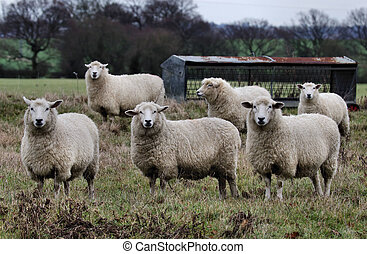 The Flock - Sheep on a dull day near an empty hay rack