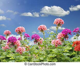 Geranium Flowers Against A Blue Sky