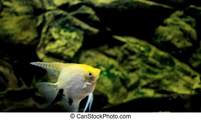 fish - Angelfish, Aquarium