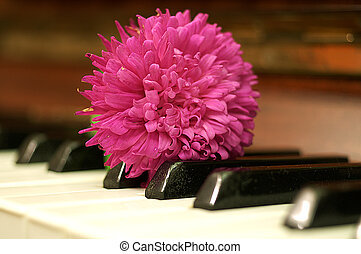 Aster flower on the piano keyboard