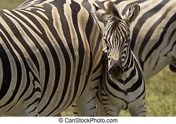 Young Zebra standing next to its mother for protection