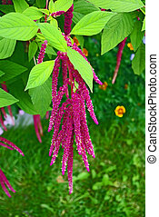 Amaranth Plant - Red decorative amaranth plant in the garden