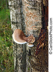 Tinder Fungus - The big tinder fungus on a tree in a wood