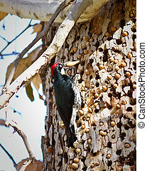 Acorn Woodpecker on a tree in California