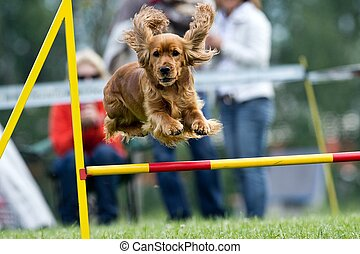 Agility - Dog skill competition.