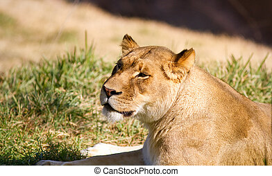 Lioness in captivity t a zoo