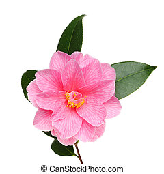 Camellia flower - Camellia Williamsii Donation flower and...
