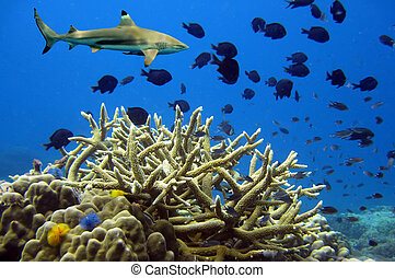 Whitetip sharks over coral reef