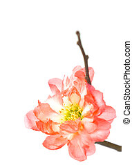 Spring flowering quince - Flowering quince pot plants are...