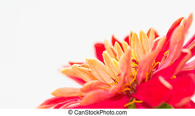 Bright light on zinnia - Vibrant colored Zinnia elegans are...