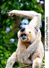 Gibbon of golden cheeks, Nomascus gabriellae - Precious...