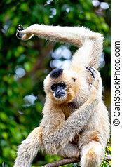 長臂猿, 黃金, 面頰, Nomascus, gabriellae