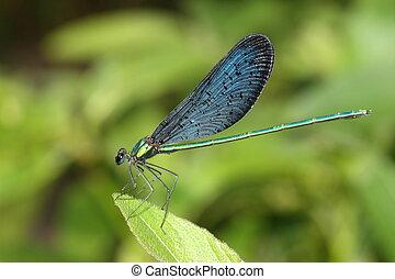 beautiful blue dragonfly on green leaf