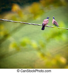 Two wild pigeons - Two pigeons sitting on wire