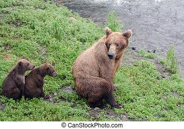 Grizzly bear cubs - Alaskan brown bear cubs standing near...