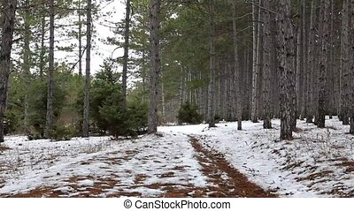 Road in the coniferous forest in winter