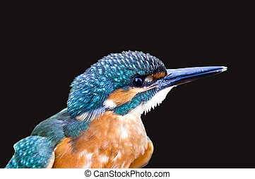 Common kingfisher Alcedo atthis isolated