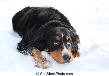 Bernese mountain dog looking sad, laying in snow and looking...