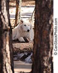 Alaskan tundra wolf - an Alaskan Tundra Wolf sitting in the...