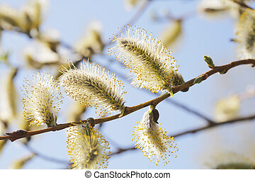 Willow Catkins - Spring time willow catkins aments on a...