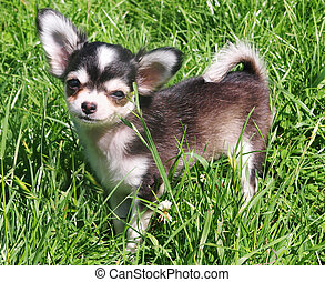 Chihuahua Pup on Grass - Close up shot of a 4 month old...