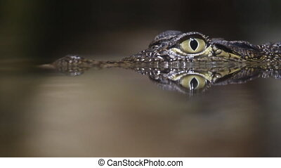 Crocodile  - 	Small crocodile swims in the water