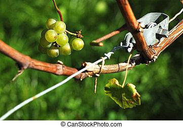 Stillife in the vineyard in October